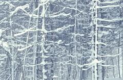 brouillard et neige / Fog and snow (cébé céline) Tags: arbres conifère neige brouillard montroyal montréal texture hiver température forêt montagne natureurbaine environnement environment urban nature trees coniferous snow fog mont royal montreal winter temperature forest mountain cébécéline