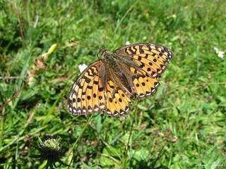 Butterfly 1619