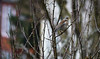 Fieldfare (DaleKD93) Tags: fieldfare turdus bird wildlife nature wales cymru ceredigion aberystwyth winter snow rspb bully nikon d3300