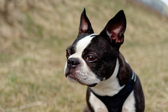 Boston Terrier Henry 2018