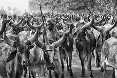 punjab india (daniele romagnoli - Tanks for 23 million views) Tags: cow mucche india bianconero mandria animali bw blackandwhite punjab インド 印度 индия indien romagnolidaniele d810 nikon asia الهند inde indiana indiani 인도 strada street road biancoenero indie sguardo monocromo occhi eyes face cows punjabi