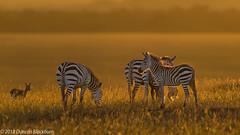 A new day.... (Duncan Blackburn) Tags: sunrise 2018 kenya masaimara mammal scene zebra nikon nature wildlife ngc npc