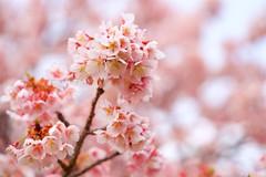 カンザクラ Prunus kanzakura (takapata) Tags: sony sel90m28g ilce7m2 macro nature flower sakura