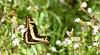 King Swallowtail (Papilio thoas) (berniedup) Tags: kaw roura guyane kingswallowtail papiliothoas swallowtail taxonomy:binomial=papiliothoas butterfly