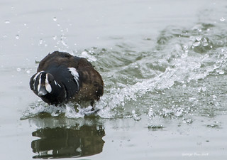 Harlequin Duck Landing (rare in SF bay area)