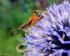 A MISSING LEG....IMPERFECTION....MACRO MONDAYS (Lani Elliott) Tags: nature macro upclose close closeup bokeh grasshopper flower garden homegarden insect macromondays imperfection macrounlimited superb excellent beautiful