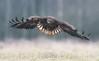 White-tailed-eagle (fire111) Tags: whitetailed eagle zeearend bird birding wild wildlife nikon poland prey bif