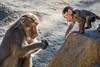 Learning from Mom (helenehoffman) Tags: mother africarocks sandiegozoo conservationstatusleastconcern monkey primate mammal baby ethiopianhighlands motherandchild papiohamadryas baboon oldworldmonkey hamadryasbaboon animal zoosofnorthamerica