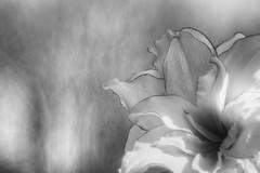 Amaryllis (Explored) (Fourteenfoottiger) Tags: explored explore meyergorlitztrioplan28100mm trioplan28100mm woodland bokeh mono blackandwhite flower textures petals nature amaryllis
