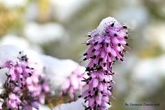Maledetta primavera (Ferruccio Zanone) Tags: neve gelo erica pianta perenne sempreverde arbusto cespuglio