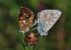 Bläulinge (Hugo von Schreck) Tags: hugovonschreck butterfly schmetterling falter macro makro insect insekt bläuling canoneos5dsr tamron28300mmf3563divcpzda010 greatphotographers