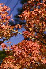 Japan 2017 Autumn_525 (wallacefsk) Tags: autumn japan kyoto miyazu monju redleaves 京都 宮津 文珠 日本 秋天 紅葉 關西 miyazushi kyōtofu jp