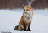 Red Fox sitting in snow (Robbie Gallant) Tags: redfox fox peicanada canada princeedwardisland wildlife animals