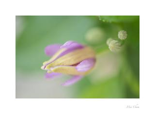Lavender Star Flower (Grewia Occidentalis)