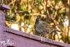 Dunnock (SLHPhotography1990) Tags: wildlife wild bird nature native garden life feeding isleofwight dunnock