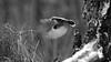 Solo un battito d'ali... (carlo612001) Tags: bird nature birds blackandwhite bw bianco e nero biancoenero bn noire blanc oiseau vogel птица