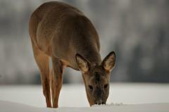 spiser snø (KvikneFoto) Tags: rådyr roedeer natur bokeh tamron nikon norge hedmark kvikne snø snow winter vinter