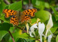 Comma (Dornoch Photography) Tags: butterfly commabutterfly garden penrhiwllan honeysuckle yellowandwhitehoneysuckle orange wings nectar feeding greenleaves fragrance