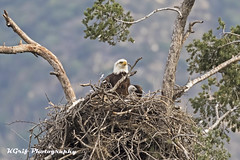Eagle Nest (KGrif_) Tags: eagle baldeagle bird beak baby chick outdoors wing wildlife nature raptor rare nest tree perch landing predator eaglet feathers losangeles california eyes protect limb valley above high mate aerial animal crest breast hatch offspring