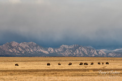 March 10, 2018 - Bison, deer, the Flatirons and moody skies. (Tony's Takes)