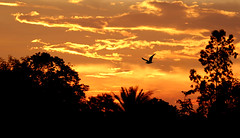 Going Back Home (rajib045) Tags: birds bird sky redsky red tree evening sunset sunsetbird home homecoming canon canon60d canon55250 canonbd landscape scenic scene beautiful love mother kid