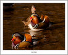 Mandarin Triple (flatfoot471) Tags: 2017 balloch bird duck mandarin march nature normal riverleven rural scotland spring unitedkingdom westdunbartonshire gbr