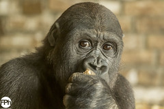 Yummy (Frankhuizen Photography) Tags: yummy lekker gorilla young jong netherlands 2018 dierentuin nederland limburg animal dier wildlife photography fotografieanimals dieren ncg monkey food close up portret portrait fotografie animals gaiazoo kerkrade