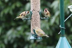 Breakfast time (roger_forster) Tags: greebfinch goldfinch carduelischloris cardueliscarduelis alverstoke gosport hampshire hiwwt
