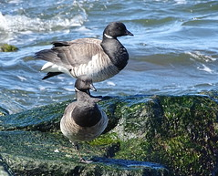 BRGO DSC01847 (clausholzapfel) Tags: brant goose