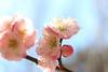 梅 (* Yumi *) Tags: 梅 ume flower macro