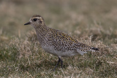 Golden Plover (The Treerunner) Tags: beachroad goldenplover