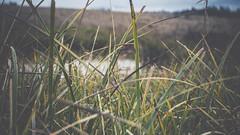 PB_012618_20 (losing.today) Tags: brianyoung oregon pacificnorthwest portland pdx portlandoregon portlandor winter nature outdoors naturepark plantlife plants moodyseason darkseason losingtoday grass grassstudies