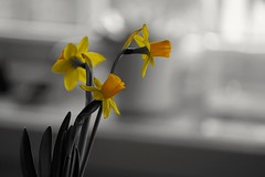 Spring is here..... (janrs7) Tags: daffodils spring flowers indoors selective colours yellow