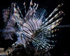 ferocity... (Stu Bo) Tags: lionfish attitude animal canonwarrior petshop dangerous beautiful aquarium sbimageworks