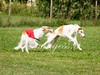 CoursingVillaverla2016w-082 (Jessica Sola - Overlook) Tags: dogs sighthounds afghanhounds greyhounds saluki barzoi italiangreyhounds irishwolfhounds lurecoursing lure race run dograces field greengrass