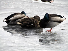 Longshaw Estate, March 2018 (Dave_Johnson) Tags: longshaw longshawestate nationaltrust nt peakdistrict derbyshire ice pond lake frozen cold duck ducks mallard bird birds wildfowl