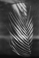 Optimistic (Thomas Listl) Tags: thomaslistl blackandwhite noiretblanc biancoenegro flora leaves light shadows filmphotography analog minoltax700 ilford ilfordfp4 nature