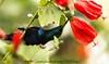 _DSC1491a (photographer28) Tags: bird feathers purpple sunbird feeding red nectar wild