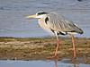 Garza real (Ardea cinerea) (44) (eb3alfmiguel) Tags: aves zancudas ciconiiformes ardeidae garza real ardea cinerea