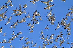 Snow Geese & Blue Skies (Kimages2c) Tags: snow geese middle creek flock migration birds goose blue