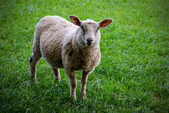 Sheepish (Chris Hamilton Photography) Tags: 2015 cornwall westminster sheep flickr animal farm livestock