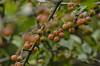 Ninfa : Frutti Autunnali del Parco (sandromars) Tags: italia lazio latina ninfa parco fruttiautunnali