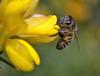 honey bee on gorse today (conall..) Tags: closeup raynox dcr250 macro bee honeybee apis mellifera apismellifera ulex europaeus gorse bush shrub scrub pollen loads colour