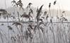 Frozen reed (A Edvall) Tags: reed vass sverige mälaren sea sky brygga bridge dimma fog winter vinter snö snow frost cold kallt