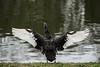 Flapping after preening (PChamaeleoMH) Tags: anatidae birds blackswans centrallondon flapping london stjamesspark swans