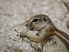 Ground squirrel (zimpetra) Tags: fauna squirrel etosha namibia mammal rodent