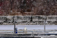 Snowy on a snowy day (tmo222) Tags: wildlife snowy owl winter marina snow flakes nature