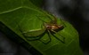 Lean Lynx Spider (dustaway) Tags: arthropoda lismorerainforestbotanicgardens australianwildlife arachnida araneae araneomorphae oxyopidae oxyopesmacilentus leanlynxspider australianspiders spideronleaf monaltrie lismore nature northernrivers nsw australia