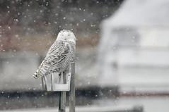 _DSC6593_DxO (maverikbandit) Tags: snowyowl