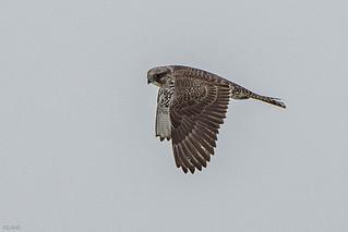 gray juvenile, Gyrfalcon, in flight , Quidi Vidi Lake